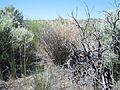Astragalus filipes (5391066455).jpg