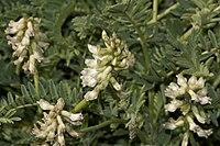 Astragalusagnicidus