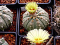 Astrophytum asterias 13.jpg