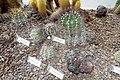 Astrophytum capricorne - Orto botanico - Rome, Italy - DSC00047.jpg