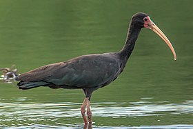 At Possa da Londra in the Brazilian Patanal (105m) - Bare-Faced Ibis (Phimosus infuscatus) - (24215232213).jpg