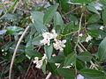 Atalantia monophylla-4.JPG