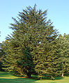 Atlas Cedar Cedrus atlantic Tree 1909px.jpg