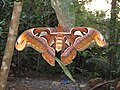Attacus atlas - Atlas moth at Peravoor 2017 (4).jpg