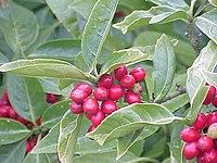 Aucuba japonica1