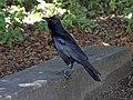 Australian Raven - Flickr - GregTheBusker.jpg