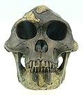 Australopithecus afarensis reconstruction.JPG