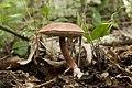 Austroboletus gracilis 01.jpg