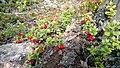 Autumn Berries - Lingonberry - panoramio.jpg