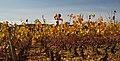 Autumn grapevines.jpg