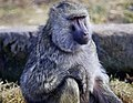 Baboon, The Magnetic Hill Zoo, Moncton, New Brunswick, Canada (39567425385).jpg