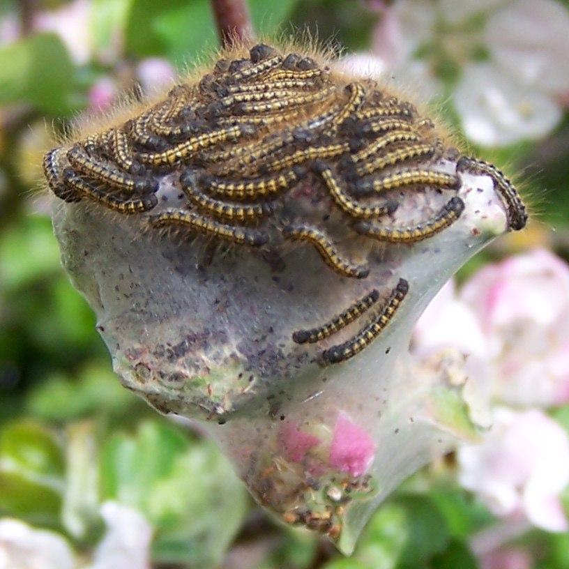 Baby Caterpillars crop2