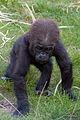 Baby gorilla Tuena (3950983001).jpg