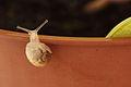 Baby snail 07.JPG