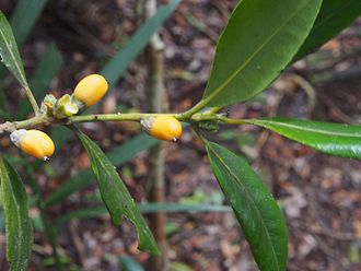 Balanops - Balanops australiana
