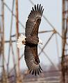 Bald-eagle-164a.jpg