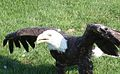 Bald Eagle wts.jpg