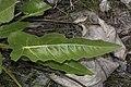Balsamorhiza careyana 1848.JPG