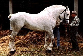 Boulonnais horse - Young Boulonnais stallion