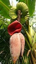 Banana flower 2.jpg