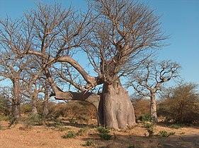 BaobabElephantBandia.JPG