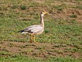 Bar-headed Goose (23536636782).jpg