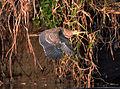 Bare-throated Tiger-Heron (6900670610).jpg