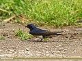Barn Swallow (Hirundo rustica) (27138390524).jpg