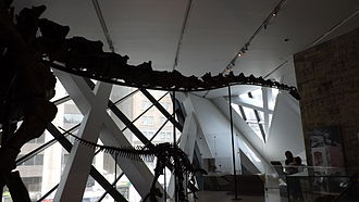"Gordo (dinosaur) - ""Gordo""'s front end, with a Camptosaurus specimen and a Giraffatitan specimen in the background"