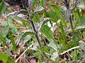 Bartsia alpina ENBLA02.jpg