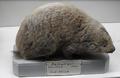 Bathyergus suillus.png