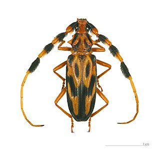 Longhorn beetle Family of beetles characterized by long antennae