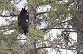 Bear 1 tree 152.jpg