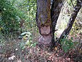 Beaver's teeth marks - Svislač - 3.jpg