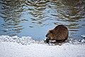 Beaver, Yellowstone River (32977426504).jpg