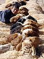 Bedu shepherd family near Palmyra, Syria - 6.jpg