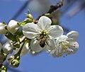 Bee on a cherry tree blossom 13-05-2019.jpg