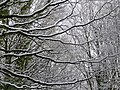Beech branches 2 - geograph.org.uk - 1156938.jpg