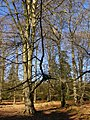 Beech trees, Blackensford Lawn, New Forest - geograph.org.uk - 734337.jpg