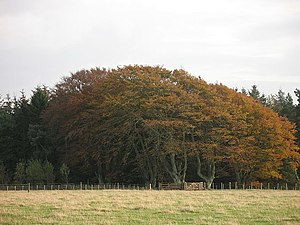 English: Beeches, Moss Road Plantation The fie...