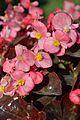Begonia semperflorens - Alipore - Kolkata 2013-02-10 4782.JPG