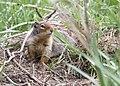 Belding's Ground Squirrel ODFW Oregon.JPG