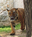 Belgrade Zoo tiger.jpg