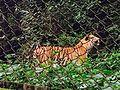 Bengal Tiger in Darjeeling.jpg