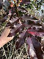 Berberis aquifolium 114989846.jpg