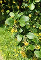 Berberis hispanica kz01.jpg