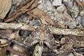 Betashachia angustipennis angustipennis (36545184371).jpg