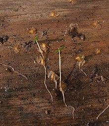 Samen und keimlinge aus einem brennholzhaufen