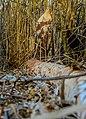 Biberspuren im Pfrunger-Burgweiler Ried.jpg