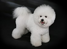 bichon frise wikipedia the free encyclopedia a bichon fris binfriz or ...
